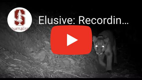Showcase image for Elusive: Recording the Secret Lives of Bay Area Mountain Lions
